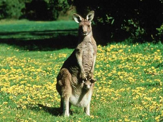 Wallpapers_39-0-Kangaroos